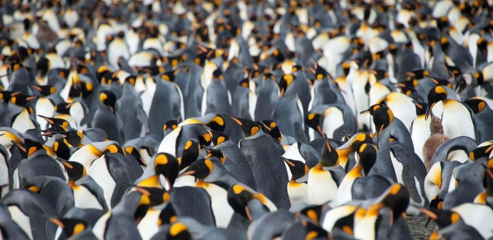 Pinguinkolonien