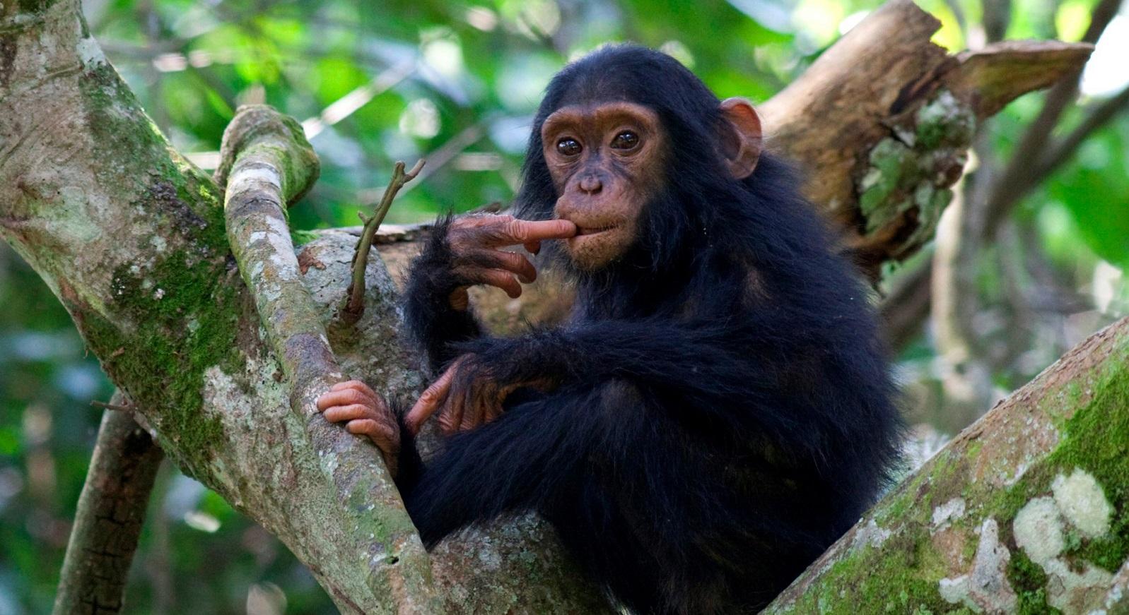 Schimpansentrekking