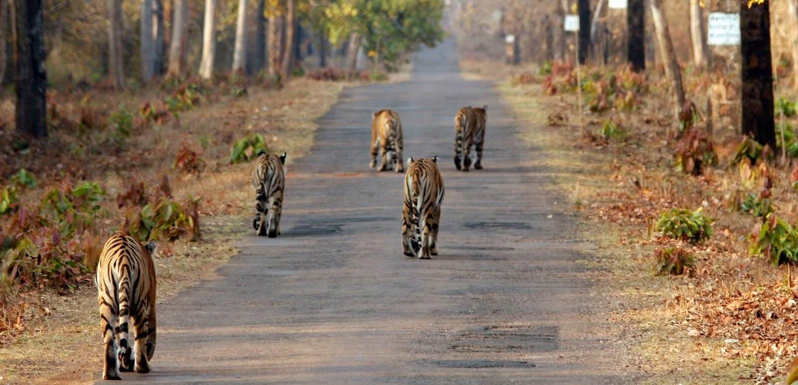 Tadoba Tigerreservat