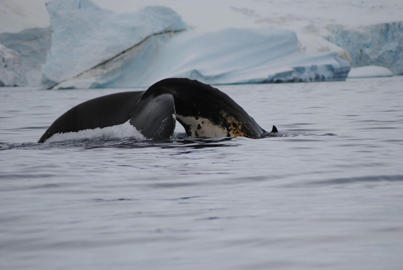 Schwertwale und Heringe im Überfluss