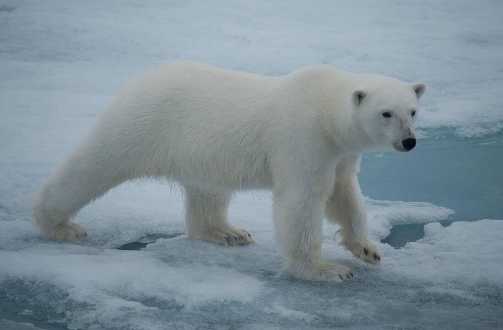 Eisbären und co.