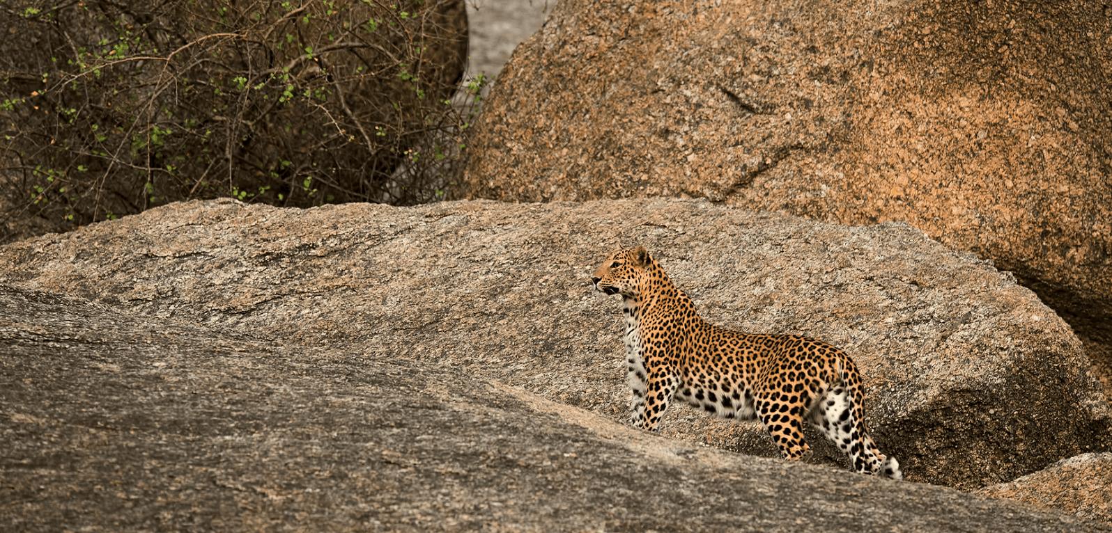 Leopard-Trekking
