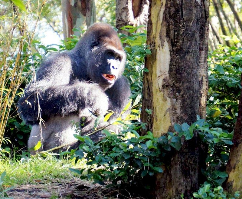 Gorillas, Mandrills und Schimpansen