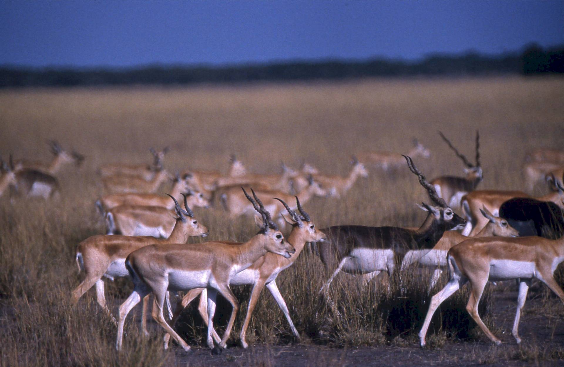 Blackbuck Velavadar-Nationalpark