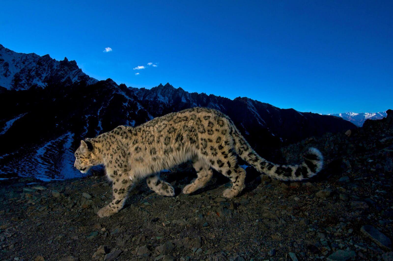 Der Schneeleopard: Das Phantom der Berge