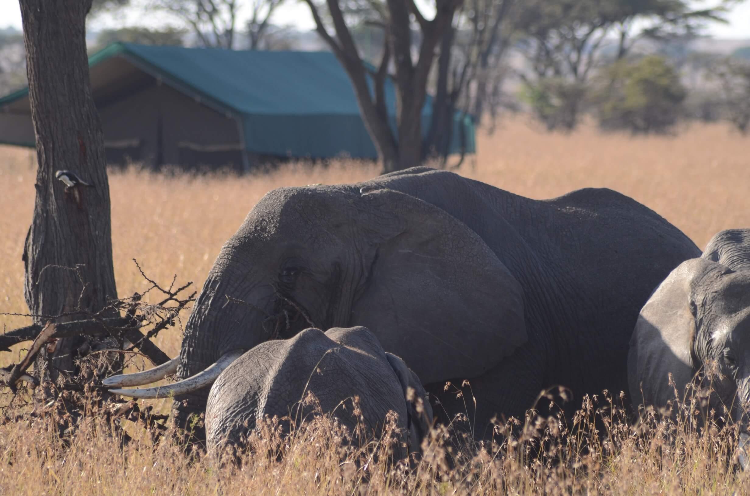 Kampi Kampi Serengeti Lamai