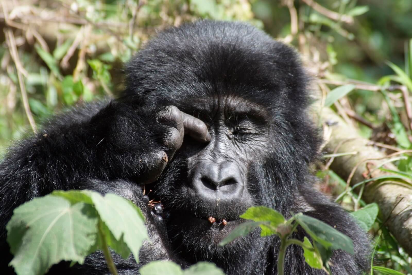 Gorilla Resort Camp