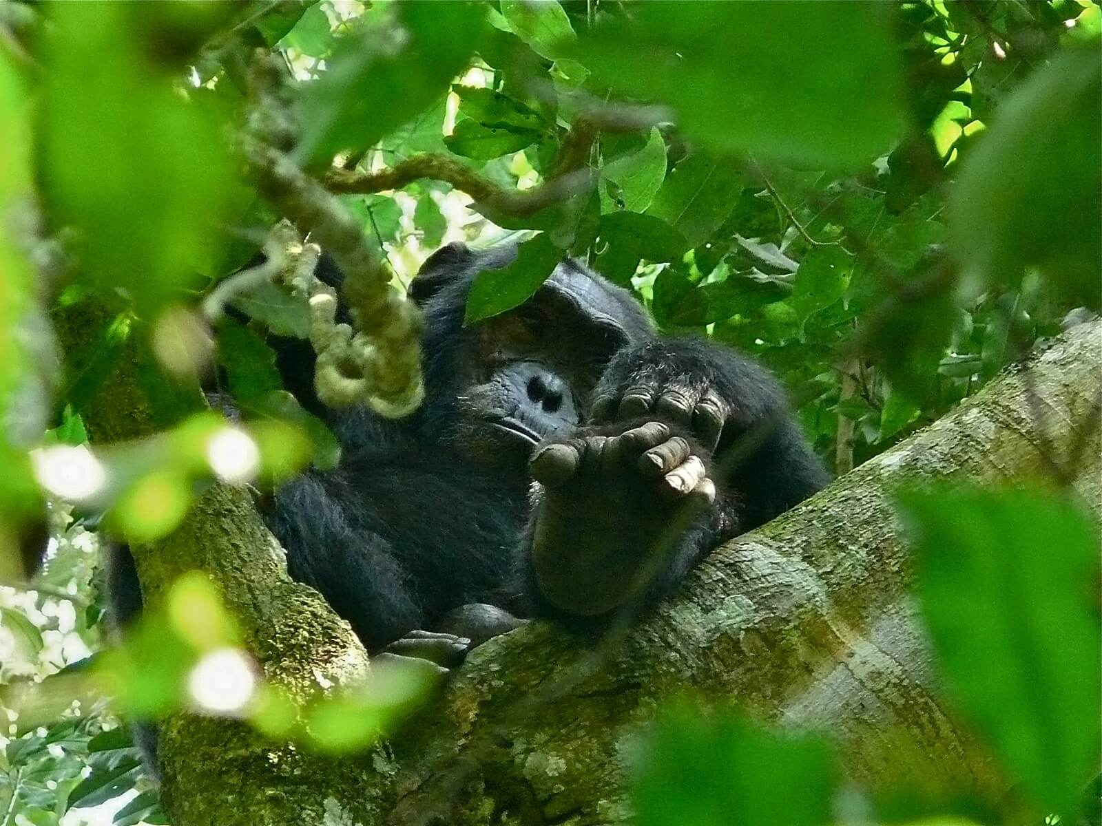 Kibale-Forest-Nationalpark