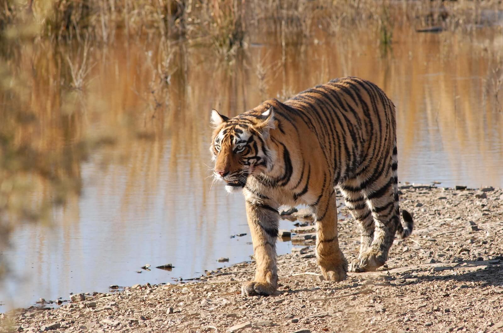 Neue Regeln für Safaribuchungen im Ranthambhore-Nationalpark im Bundesstaat Rajasthan