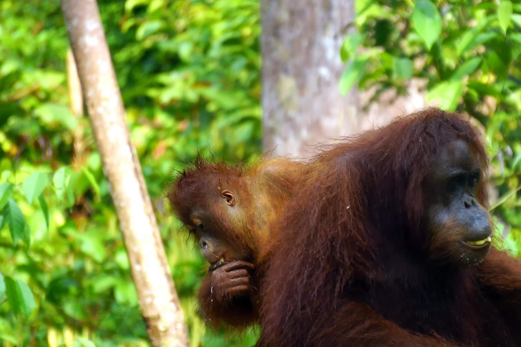 Borneo: Auf Augenhöhe mit den letzten Giganten