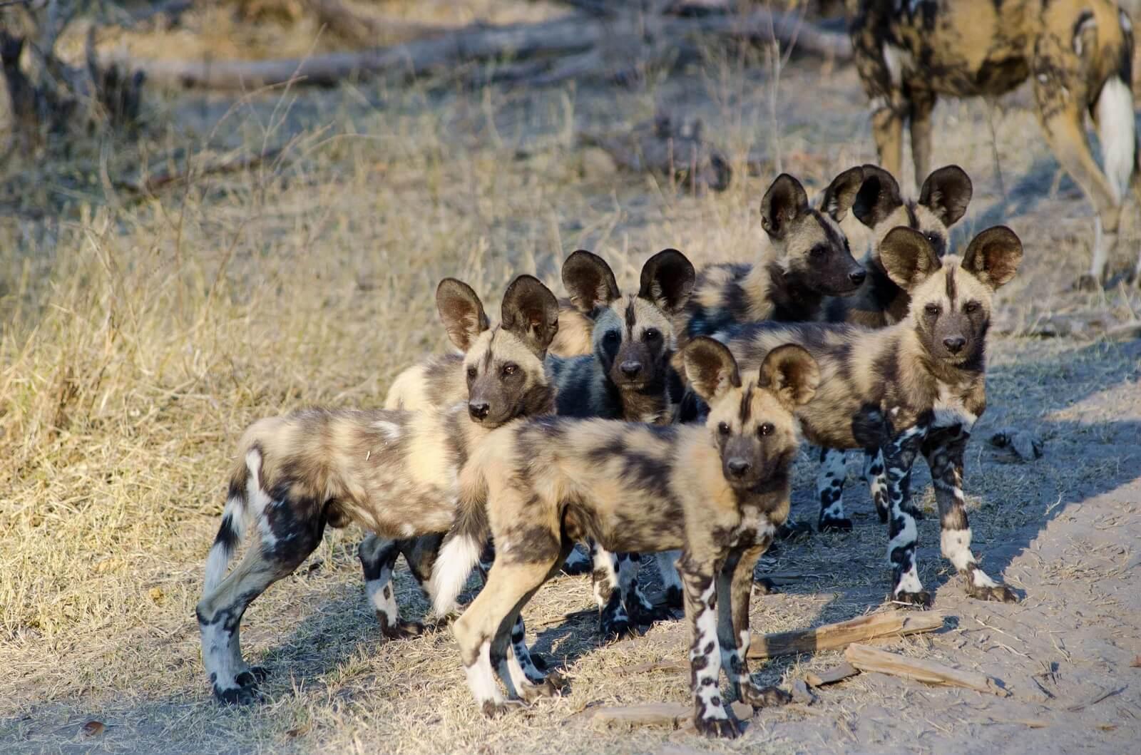 Botswana Wildhund-Safari