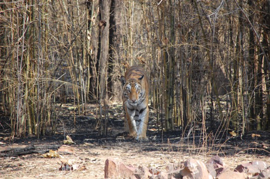 Indien Tigersafari: 01.04. - 17.04.2017