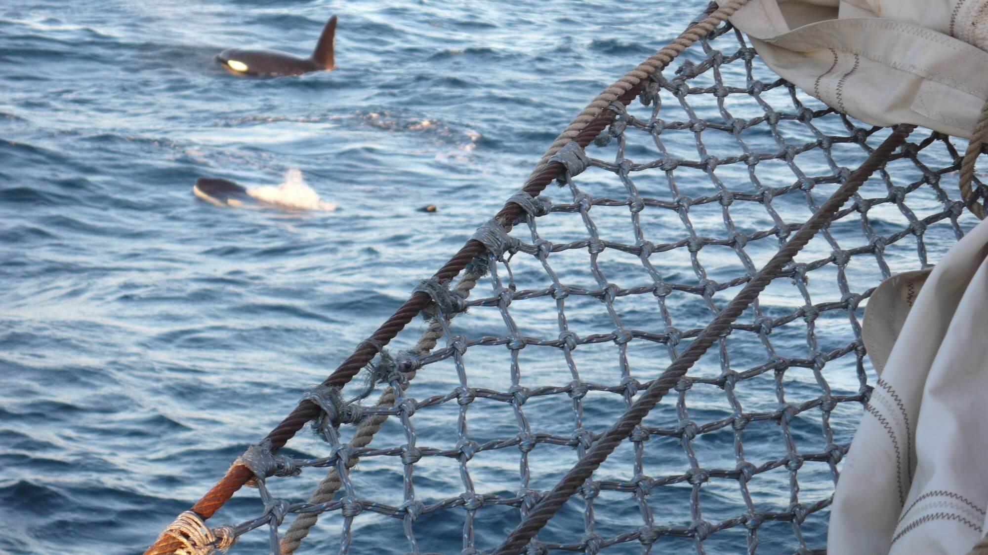 Mein Traum, endlich Orcas in freier Woldbahn zu erleben, hat sich voll und ganz erfüllt!