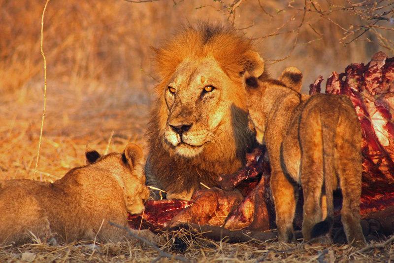 Löwen im Ruaha – Nationalpark haben ihre Speisekarte erweitert!