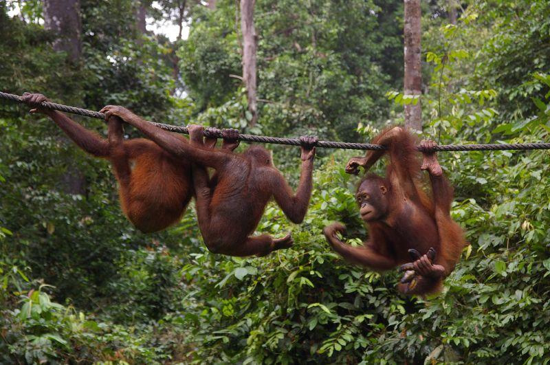 Borneo Kinabatangan intensiv mit Sepilok