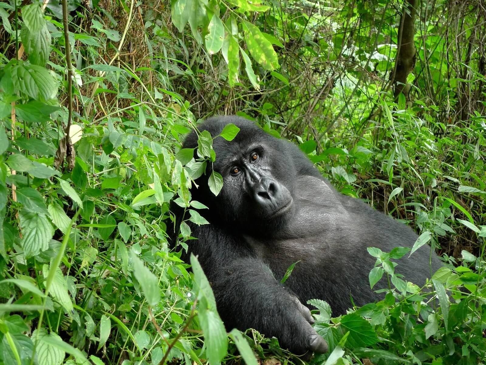 Uganda Ruhija-Safari