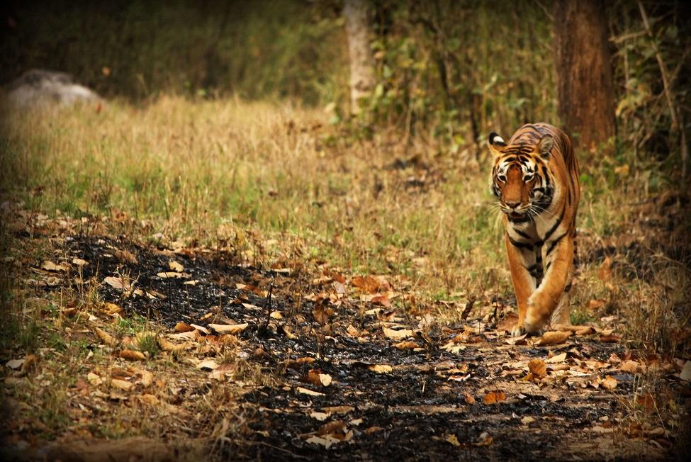 Indien Kurzsafari