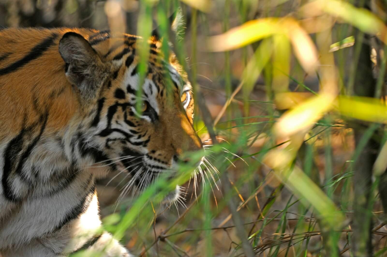 Indien ins Reich der Tiger