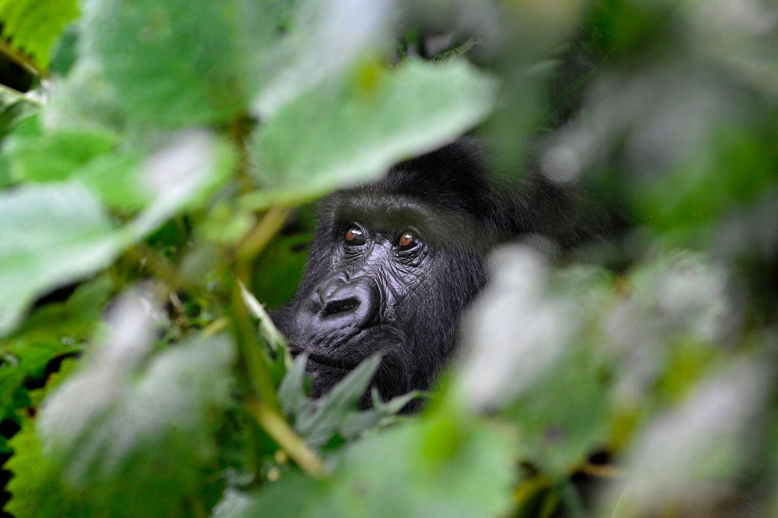Zwei neue Gorillafamilien im Bwindi Impenetrable National Park