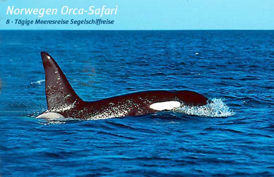 Norwegen Orca-Safari